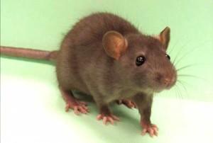 rat101311