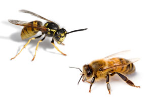 the-buzz-on-bees-and-wasps-11425